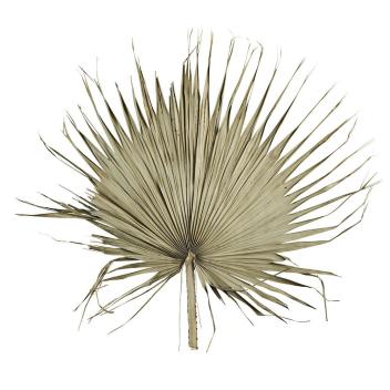 Grande feuille de Palmier XL naturelle stabilisée